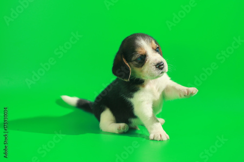 1 month pure breed beagle Puppy on green screen - 175930034
