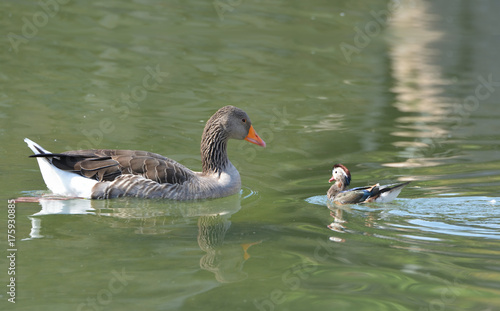 Valokuva  duck family on the lake