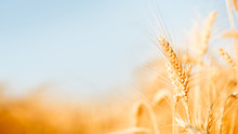 Photo Of Wheat Spikelets In Fi...