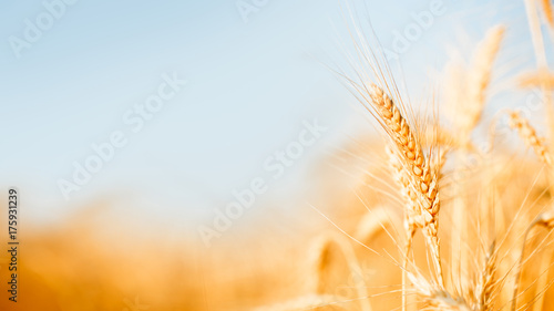 Papiers peints Culture Photo of wheat spikelets in field