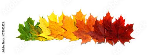 Photo  Bright maple leaves. The symbol of autumn.