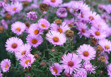 Growing Tansy Leaf Aster (Mach...