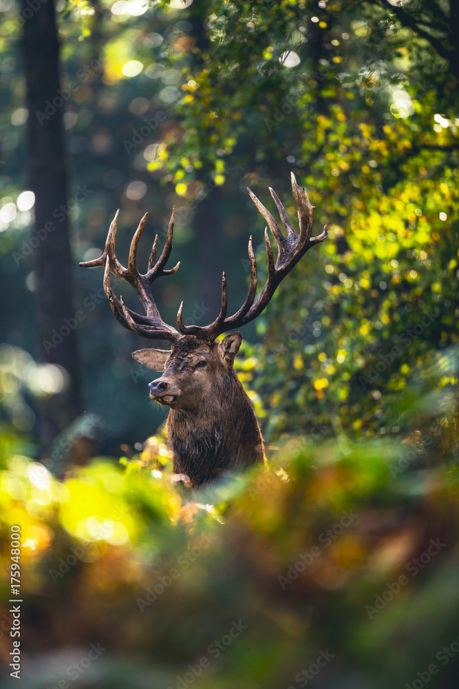 Red deer stag (cervus elaphus) in autumn foliage of forest.