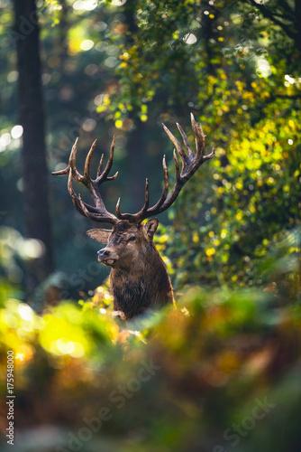 Red deer stag (cervus elaphus) in autumn foliage of forest.