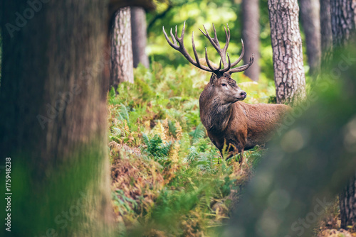 In de dag Hert Red deer stag between ferns in autumn forest.
