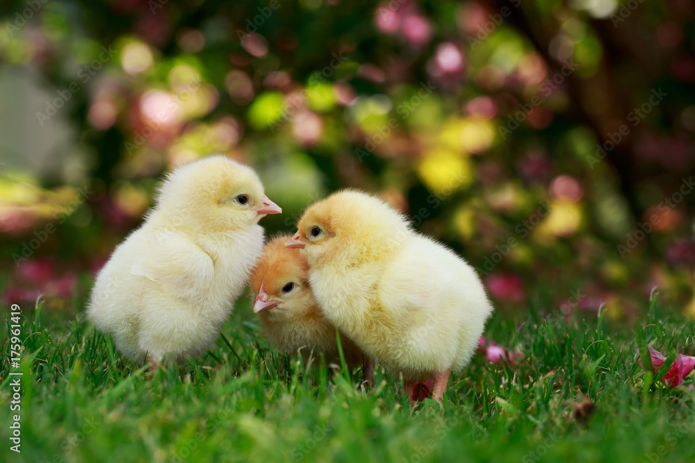 the little chickens