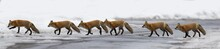 Red Fox In Winter Panorama