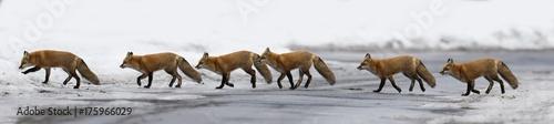 Photo  Red fox in winter panorama