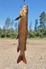 Fresh Catch: Lenok (Brachymyst...
