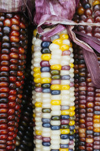 Closeup Of Indian Corn Stalks With Colorful Kernels