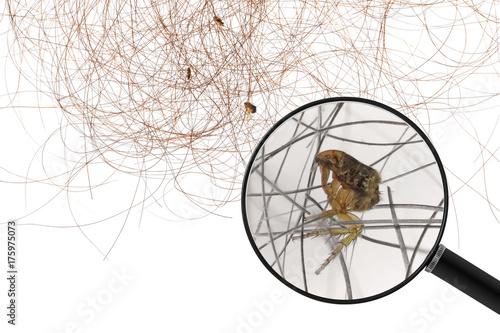 Flea or Human Flea (Pulex irritans) on human hair Tablou Canvas