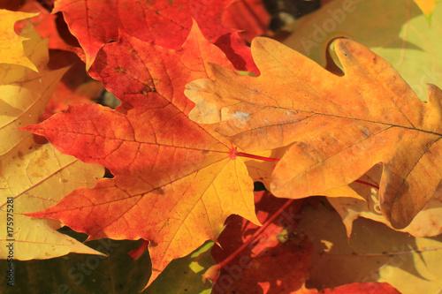 Fototapeta autumn leaves of maple and oak on the water obraz na płótnie