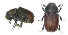 Bark Beetle (Phloeosinus Aubei...