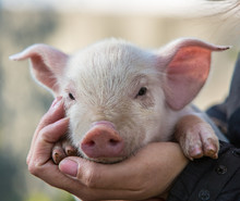 Pig In Hand