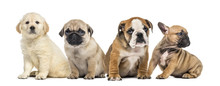 Four Puppies Sitting, Isolated On White