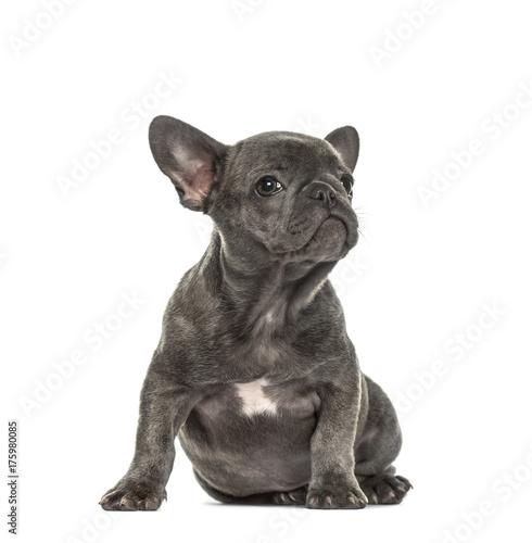 Spoed Fotobehang Franse bulldog Grey french bulldog sitting, isolated on white