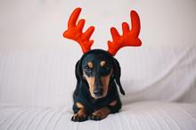 Adorable Black Dog Wearing Reindeer Horns