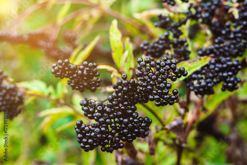 Elderberry black berries in the woods. Autumn