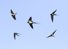 Birds Barn Swallows Fly In The Blue Sky Widely Spread Its Wings