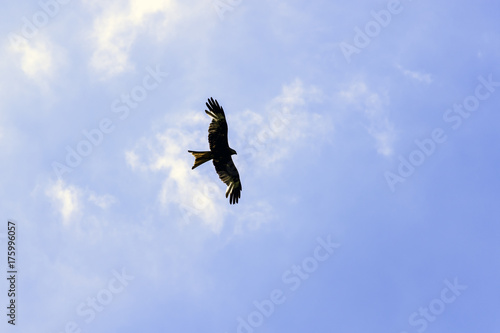 Foto op Canvas Luchtsport Wild hunting eagle in the clouds / United Kingdom