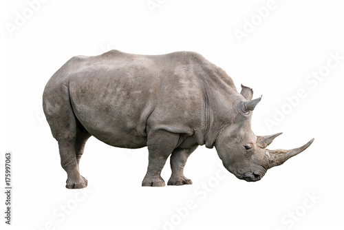 Fényképezés  white rhinoceros ceratotherium simum isolated on white background