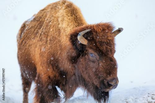 Keuken foto achterwand Buffel A buffalo squares off in Yellowstone National Park, Wyoming