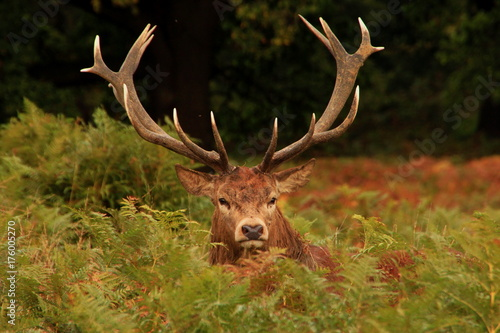 Recess Fitting Deer Reindeer stag with antlers in autumn camouflage