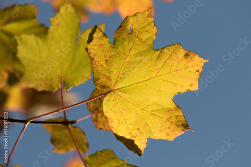 Valokuva  Foglia gialla in autunno nel cielo azzurro