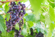Sangiovese Grapes Hanging From...