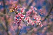 Prunus  Budding