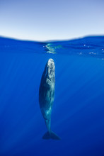 Sperm Whale Resting Near The S...