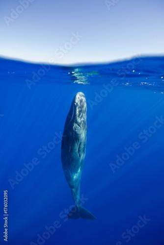 Fotografia Sperm whale resting near the surface, Indian Ocean, Mauritius.