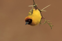 Vitelline Masked Weaver Bird