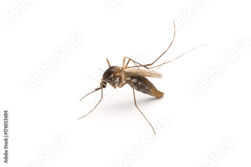 In de dag Tijger Mosquito isolated on white background
