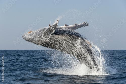 Obraz na dibondzie (fotoboard) Humpback whale wharing podczas dorocznej sardynki biegną wzdłuż wschodniego wybrzeża RPA.