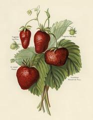FototapetaThe fruit grower's guide : Vintage illustration of strawberries