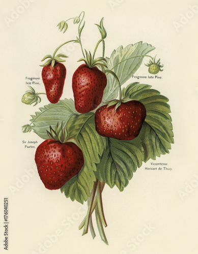 The fruit grower's guide : Vintage illustration of strawberries Wall mural