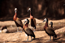 White-faced Whistling Duck Cal...