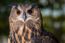 Portrait Of Owl With Orange And Black Eyes