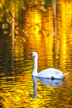 Swan On A Lake In A Park In Au...