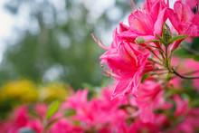 Beautiful Pink Azalea Flowers - Flowering Shrubs In The Genus Rhododendron