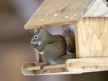 Red Squirrel Sitting In Bird Feeder, Eating Sunflower Seeds