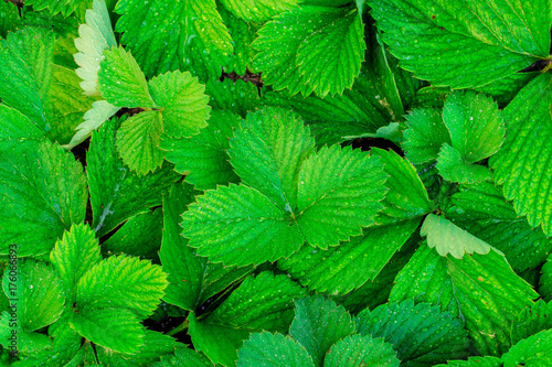 Fototapeta Strawberry leaves, leaves, foliage obraz na płótnie