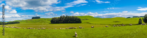 Poster Oceania Sheep in the New Zealand