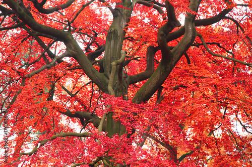 La pose en embrasure Rouge color tree in autumn