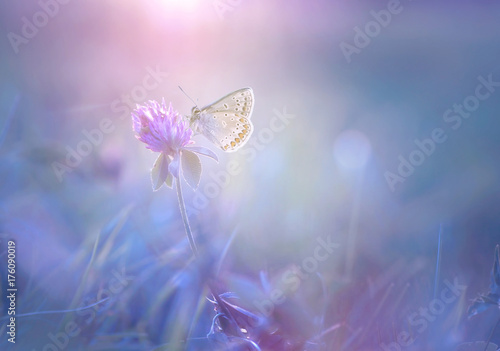 Gentle exquisite butterfly on a clover flower in spring in the summer glows in the rays of transparent violet light with a soft focus macro. Aerial refined subtle artistic image of nature.