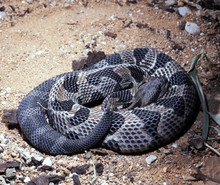 Timber Rattlesnake, Crotalus H. Horridus, Lives Predominantly In Forests