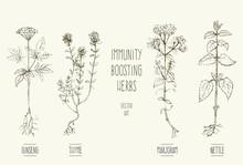 Vector Illustrations Of Herbs Improving Immune System.