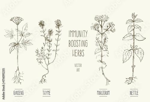 Fototapeta Vector illustrations of herbs improving immune system. obraz