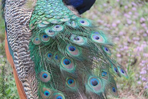 plume de la queue du paon Canvas-taulu